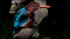mr. kingfisher (giancarlo_III) Tags: california blue orange brown cute bird wet animal ngc feather toughguy angry kingfisher perch 169 tough animalplanet ruffled whitethroated