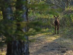 Are you following me, mister? (BobButcher) Tags: alaska nikon moose anchorage kincaidpark nikkor70200mmf28 d7000