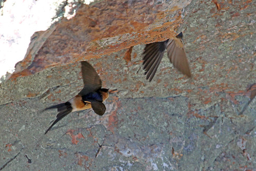Edit - Red-rumped Swallow - IMG_7887