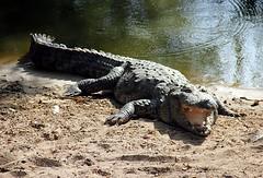 Coccodrillo2 (Ignazio Carpitella) Tags: madras kerala varkala marinabeach cochin kollam madurai backwaters tamilnadu ooty ernakulam pondicherry mamallapuram kumarakom meenakshiammantemple triplicane edakkalcaves crocodilebankmadras