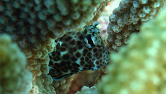 Eye Lashes, Nose Hair, Spots and Freckles (hawaiiansupaman) Tags: fish coral hawaii underwater eyelashes maui camouflage underwaterphotography coralhead