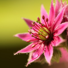 Jupiter's eye (FraJH Photos) Tags: eye netherlands jupiters jupiter common sempervivum houseleek weert tectorum 2013