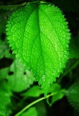 leaf (Ami VONDo) Tags: sky fall water rain rock leaf drops nikon insects journey jungle mehrab kundo saifuzzaman d5100 madhob