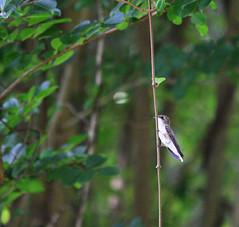 Hummer perching near butterfly garden (Squash Goddess) Tags: green bird hummingbird florida perch hummer butterflygarden