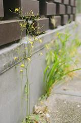 Small jungles (Arne Kuilman) Tags: street flowers urban netherlands grass amsterdam yellow nederland growth gras geel f28 straat bloemetje pietheinkade