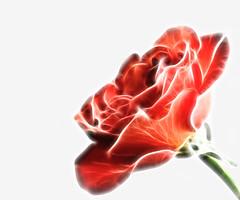 365-147 Fractal Flower 2 (kckelleher11) Tags: red orange white flower rose 50mm background olympus fractal 365 zuiko omd em5 fractilius