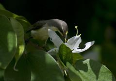 Purple-rumped Sunbird(female) (joydeb chaudhury) Tags: flower sunbird bauhinia kanchan zeylonica acuminata purplerumped leptocoma