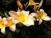 Peach-Lilies (Chris Sorge) Tags: flower lily flowersarebeautiful excellentsflowers mimamorflowers flickrflorescloseupmacros