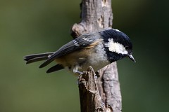 Coal Tit. (stonefaction) Tags: nature birds forest scotland angus wildlife faved montreathmont
