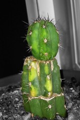 image (That Cacti Guy) Tags: cactus cacti variegated mutant mutation graft variegata trichocereus peruvianus variegate