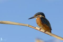 Martin pescatore [Explored] (_milo_) Tags: italy bird canon eos italia tamron oiseau birdwatcher oasi 70300 angera alcedoatthis martinpescatore ucello 60d bruschera