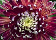 _DSC0460 copy (offthepaigephotography) Tags: seattle park red white plant flower green art nature yellow garden washington nikon purple pacificnorthwest ballard pnw