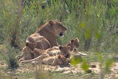 DSC01124 (Arno Meintjes Wildlife) Tags: africa nature southafrica wildlife sony lion safari pantheraleo arnomeintjes krygerpark
