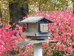 Cardinal (PPWIII) Tags: bird backyard cardinal muskegon nortonshores