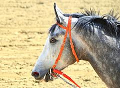 2013-03-27 (87) r5 #1 Rainbowappears (JLeeFleenor) Tags: photos photography marylandracing md marylandhorseracing laurelpark horses thoroughbreds equine equestrian cheval cavalo cavallo cavall caballo pferd paard perd hevonen hest hestur cal kon konj beygir capall ceffyl cuddy yarraman faras alogo soos kuda uma pfeerd koin    hst     ko  grey gray maryland