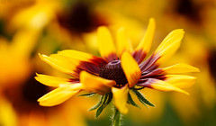 Black Eyed Susan (j man.) Tags: life lighting friends light summer black flower color macro art texture nature floral colors beautiful closeup composition lens photography petals cool focus flickr dof blossom susan bokeh pov background sony details favorites clarity blurred 11 depthoffield pointofview sp ii views di if f2 eyed tamron comments ld slt washingtonpark jman macrophotography af60mm mygearandme flickrbronzetrophygroup a65v
