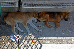 dogs stories (Matthew on the road) Tags: poverty life street summer dog sun streets dogs animal animals relax warm poor relaxing story hunger romania rest resting stories transilvania romanian dogsstories matthewnan