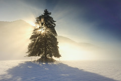 Lumire (marie du vercors) Tags: winter light snow tree fog lumire hiver evergreen neige arbre brume epicea