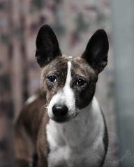 "1.12b Raisin ""A faded palette"" (jezandia) Tags: dog basenji raisin thelittledoglaughed ldlportraits 12monthsfordogs14"