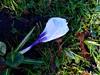Each one is beautiful (Julie70 Joyoflife) Tags: flowers london spring crocus fevrier photostroll photojuliekertesz midfebruary springwalksinlondon springflowersinfebruary
