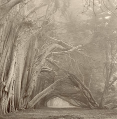 Gateway (Paul Kozal) Tags: california trees blackandwhite bw mist tree art film nature misty fog sepia forest landscape blackwhite nikon scenery moody path branches foggy trail searanch sonomacounty cypress pathway cypresstree hedgerow silvergelatin gelatinsilverprint classicphotography silverprint darkroomprint traditionalphotography silvergelatinprint specialpicture paulkozal paulkozal cypresshedgerow