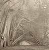 "Gateway (Paul Kozal) Tags: california trees blackandwhite bw mist tree art film nature misty fog sepia forest landscape blackwhite nikon scenery moody path branches foggy trail searanch sonomacounty cypress pathway cypresstree hedgerow silvergelatin gelatinsilverprint classicphotography silverprint darkroomprint traditionalphotography silvergelatinprint specialpicture paulkozal ""paulkozal"" cypresshedgerow"