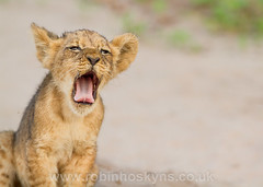Little lion, big yawn! ([[BIOSPHERE]]) Tags: baby cute lion young cubs botswana yawning choberiver chobenationalpark