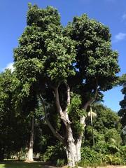 Castanospermum australe (FloraFNQ) Tags: trunk fabaceae townsville castanospermumaustrale castanospermum arfp nwsrfp qrfp eastcoastofaustralia qbgtarfp tbgarfp tropicalarf subtropicalarf eastcoastodyssey