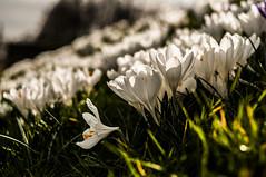 Bokeh of Flowers (keeweeman) Tags: light sky sun sunlight white blur flower color colour macro green field closeup port 35mm lens prime golden nikon dof bokeh vibrant vivid hour depth wirral portsunlight d90 vision:mountain=0649 vision:outdoor=058 vision:sky=0568