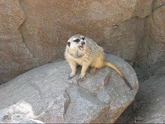 MERKAT 012 apr 289 (Dancing with Ghosts Graphics) Tags: copyright cute animal mammal meerkat pups graphics small gang mob clan mongoose angola sentry suricate copyrighted burrows suricatta dwg desert merkats diurnal 2013 fawncolored herpestid iteroparous kalahari namib debbrawalker feliform dancingwghosts suricata suricatta dwggraphics botswana oraging siricata majoriae iona