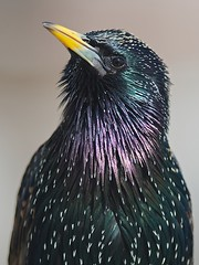 Common Starling (Sturnus vulgaris) (PeterQQ2009) Tags: holland birds sturnusvulgaris commonstarling avianexcellence