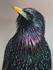 Common Starling (Sturnus vulgaris) (PeterQQ2009) Tags: holland birds sturnusvulgaris commonstarling avianexcellence