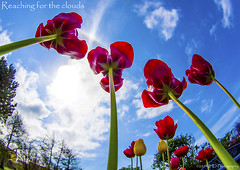 Reaching for the Clouds (IHD Photography) Tags: blue red sky clouds spring tulips pentax perspective k01 smcda1017mmf3545fisheye