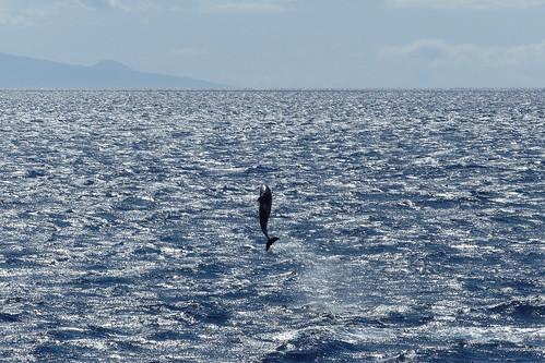 Delfine vor Lanai