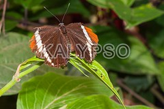 Adelpha Cytherea Linnaeus Butterfly (kalypsoworldphotography) Tags: wild orange brown mountain motion macro texture southamerica nature closeup forest butterfly insect fly leaf ecuador amazon rainforest day pattern sister background wildlife wing smooth large free spot brush exotic jungle single tropical andes environment wilderness admiral cordillera andean cuyabeno amazonian amazonia banded footed mindo yasuni
