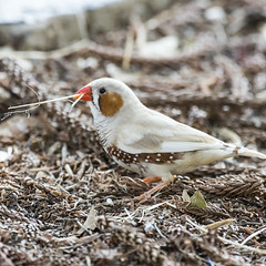 small bird series - an industrious (reasonably rare) white zebra finch (Fat Burns (mostly off)) Tags: bird fauna finch albino zebrafinch australianwildlife australianbird smallbird australianfauna taeniopygiaguttata