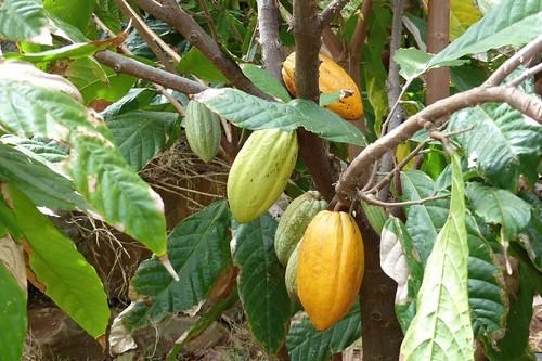 Cocoa at Piliani Kope Coffee Farm