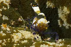 Peacock tail anemone shrimp in Wakatobi, Indonesia (Mgungen) Tags: macro nature coral indonesia nikon shrimp scuba diving anemone reef wakatobi underwaterphotography peacocktail inon subal d7100 z240 nikon100mm