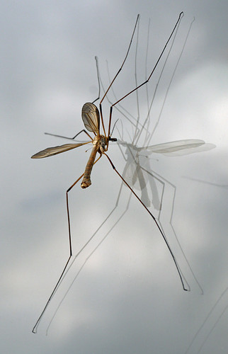 1st Double Glazed Daddy Long Legs
