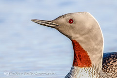 Lmur - Red-throated Loon - Gavia stellata (Niceland) Tags: nature birds wildlife ma tamron snfellsnes 2016 redthroatedloon gaviastellata fuglar lmur mnuur