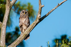 Mom? Dad? Stop Leaving Me Behind! (ac4photos.) Tags: bird nature animal nikon florida wildlife owl ac tamron juvenile fledgling barred barredowl naturephotography animalphotography birdphotography wildlifephotography owlphotography d300s ac4photos