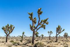 Joshua Trees (mikerastiello) Tags: california ca joshuatree joshuatreenationalpark joshuatreecalifornia joshuatreeca