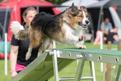 FAN_6002 (Flemming Andersen) Tags: animal outdoor hund agility dogsport hundesport dchharlev
