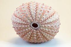 0SeaShells (1 of 1)-7 (HemboCondo) Tags: shells seashells shell snail scallop urchin