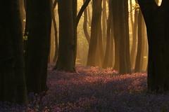 Bluebell Dawn (Derbyshire Harrier) Tags: morning trees shadow mist bluebells sunrise dawn derbyshire peakdistrict beechwood 2016 hyacinthoidesnonscripta peakpark