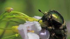 Kfer in Aktion (Sam ) Tags: macro insect sam eifel makro insekt kfer rosenkfer scarabaeidae irrel cetoniinae