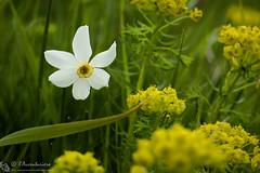 Galleggiando nel prato (EmozionInUnClick - l'Avventuriero's photos) Tags: bokeh fiore narciso