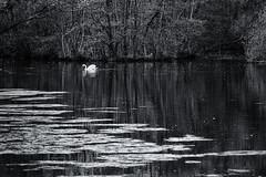 Lonely swan (Wessel...) Tags: bw water netherlands canon swan nederland kralingen zwaan kralingseplas