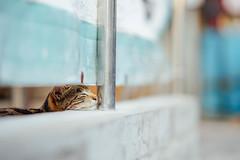 (Tridentz | ) Tags: light cute animal cat hongkong eyes gm close sleep f14 sony 85mm hong kong tired meow neko fe alpha  a7   catportrait gmaster alpha7
