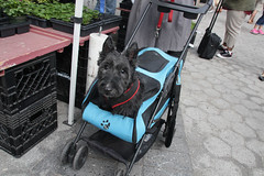 Scottie Ride (meg williams2009) Tags: dogscottie greenmarket unionsquare doggiebuggie dogstroller blackdog outdoor newyork nyc newyorkpark unionsquaregreenmarket